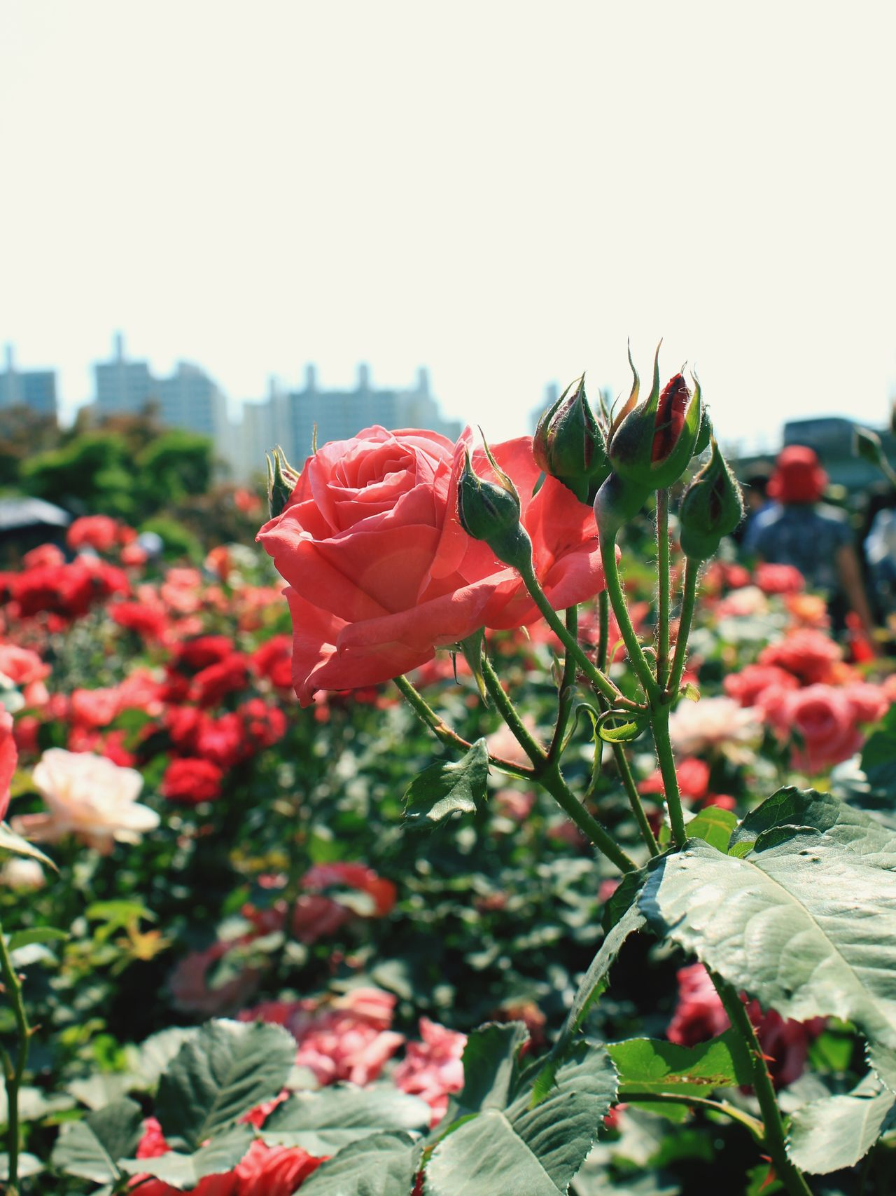 Flower Nature Pink Color Rose - Flower No People Plant Red Outdoors Beauty In Nature Day Close-up Leaf Growth Springtime Freshness Flower Head Fragility Sky EyeEmBestPics Photo Someday Photography EyeEmNewHere Landscape Festival