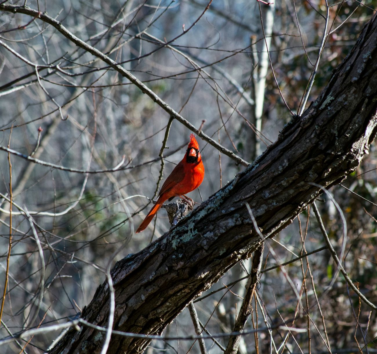 Bird Photography Cardinal Redbird Birdwatching EyeEm Birds Hug A Tree Bird Check This Out Animal_collection Animals