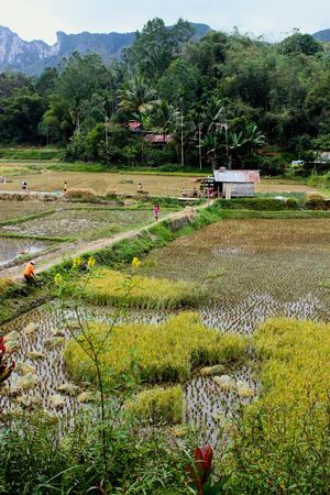 INDONESIA Sulawesi Agriculture Beauty In Nature Crop  Day Farm Field Freshness Grass Green Color Growth Landscape Mountain Nature Outdoors Plant Rice Paddy Rural Scene Scenics Terraced Field Tranquil Scene Tranquility Tree Water