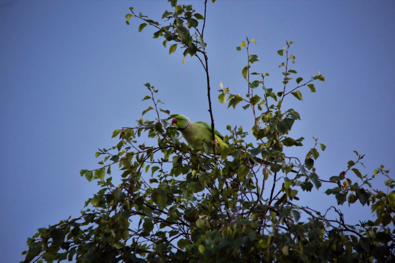 low angle view, tree, bird, animal themes, one animal, nature, clear sky, growth, animals in the wild, no people, perching, branch, day, green color, outdoors, animal wildlife, leaf, beauty in nature, sky
