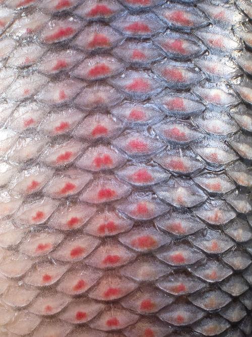 Birma Burma Close-up Fish Fish Scales Full Frame Myanmar Pattern Pyin Oo Lwin Pyinoolwin Red