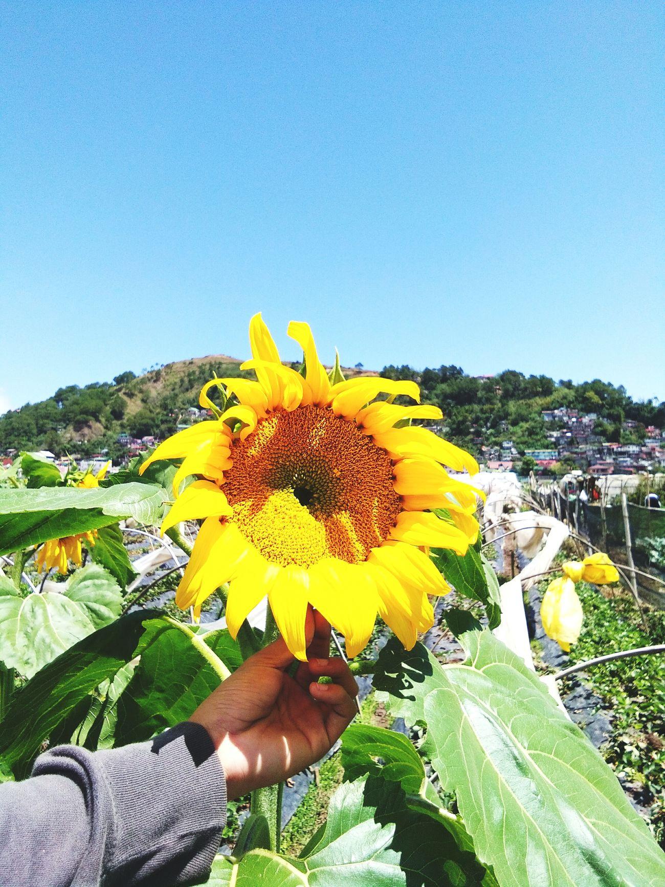 Sunnyday Sunflower Flower Sky Greenfield Green Summer Strawberryfield