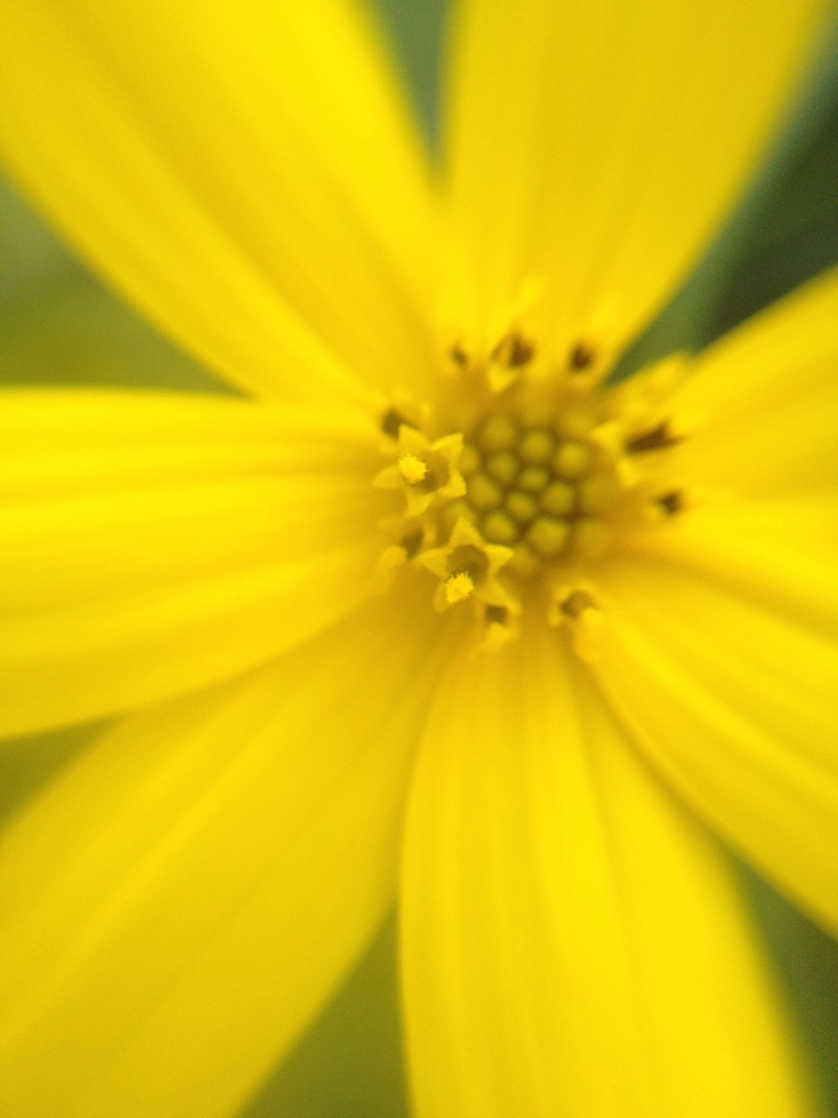 flower, petal, freshness, flower head, yellow, fragility, close-up, single flower, pollen, beauty in nature, growth, stamen, nature, macro, extreme close-up, full frame, selective focus, backgrounds, blooming, blossom