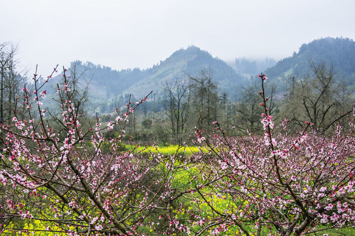 Background Beauty In Nature Blossoming Flower Colorful Countryside Day Farmland Fields Floral Foggy Idyllic Scenery Landscape Mist Nature Nature No People Outdoor Outdoors Painting Peach Blossom Peach Flowers Pink Flower Scenery Spring Flowers Springtime
