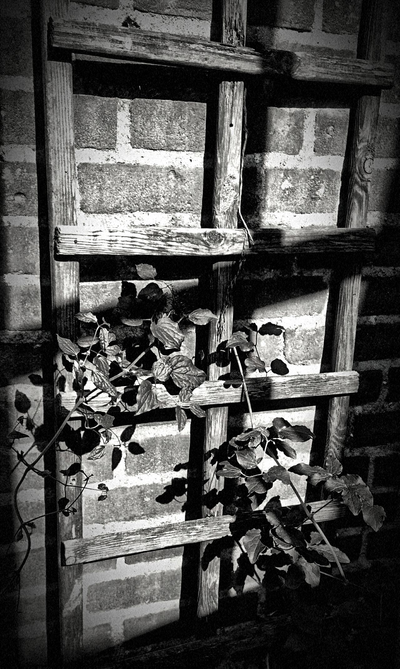 Trellis Brick Wall Clematis Sunlight Shadow Wood Climbing Plant Dramatic Black And White Jixipix
