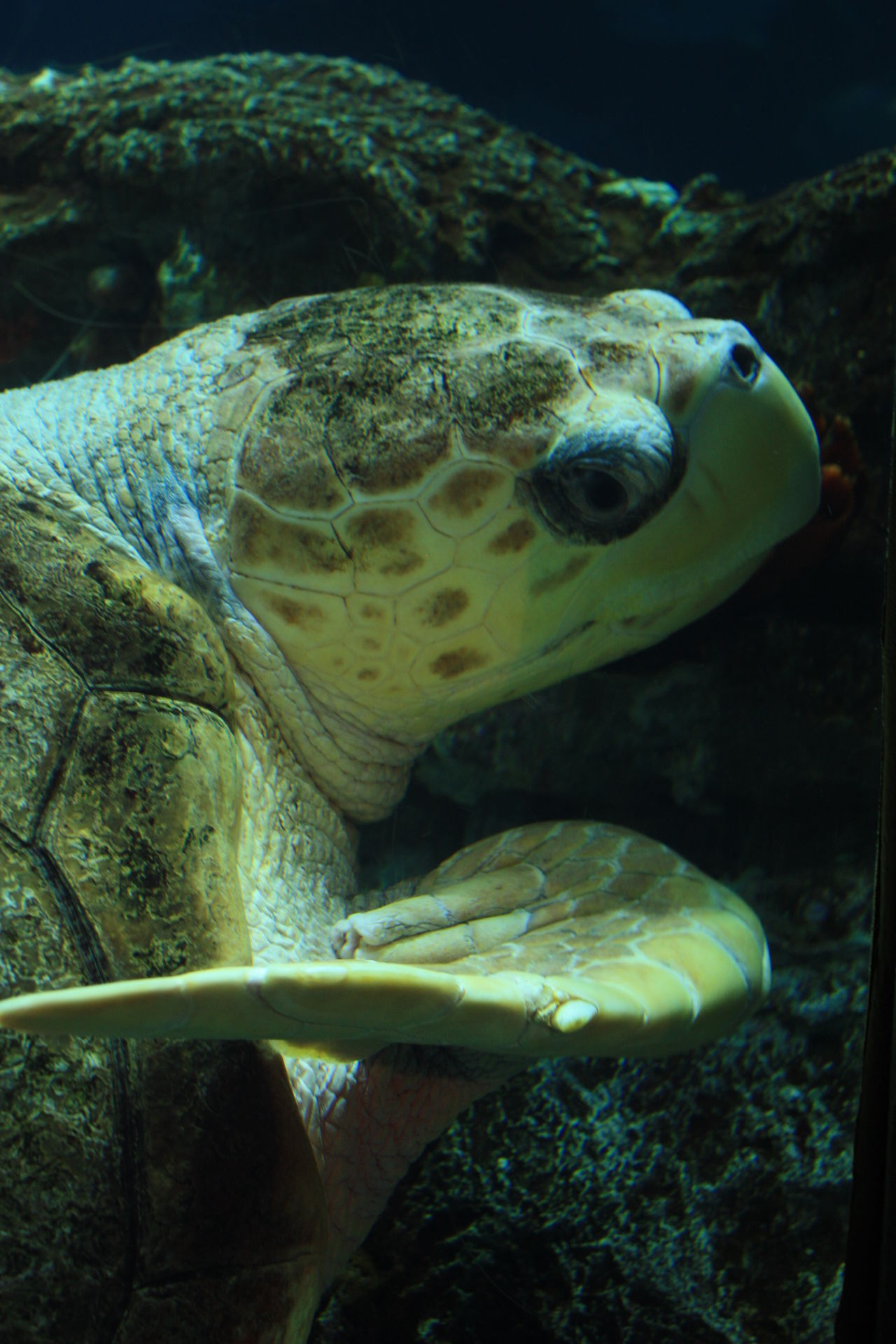 Animal Themes Animal Wildlife Animals In The Wild Aquarium Beauty In Nature Close-up Day Mammal Nature No People One Animal Outdoors Reptile Sea Sea Life Sea Turtle Swimming Tortoise Turtle UnderSea Underwater Water Wildlife