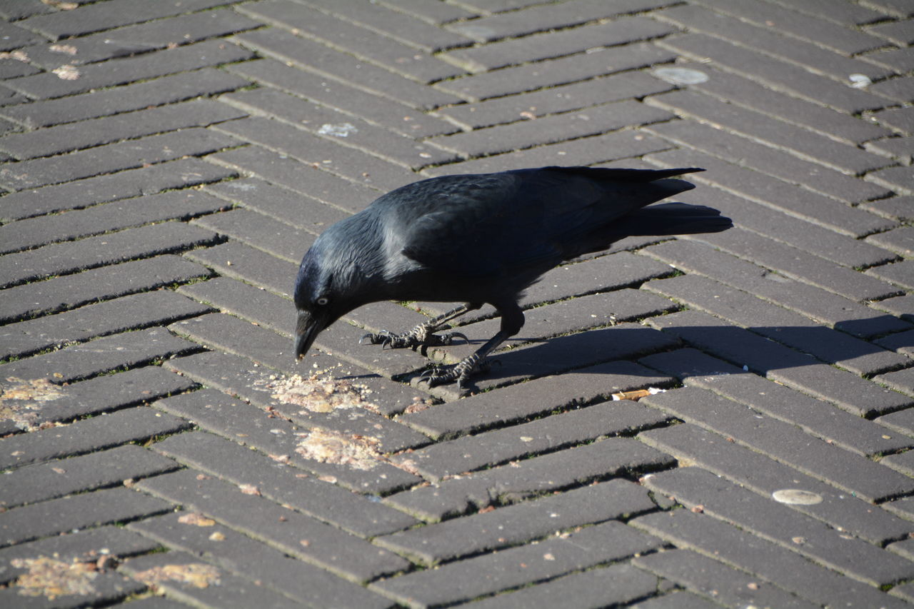 one animal, animal themes, bird, animals in the wild, black color, outdoors, crow, animal wildlife, day, raven - bird, no people, water, nature