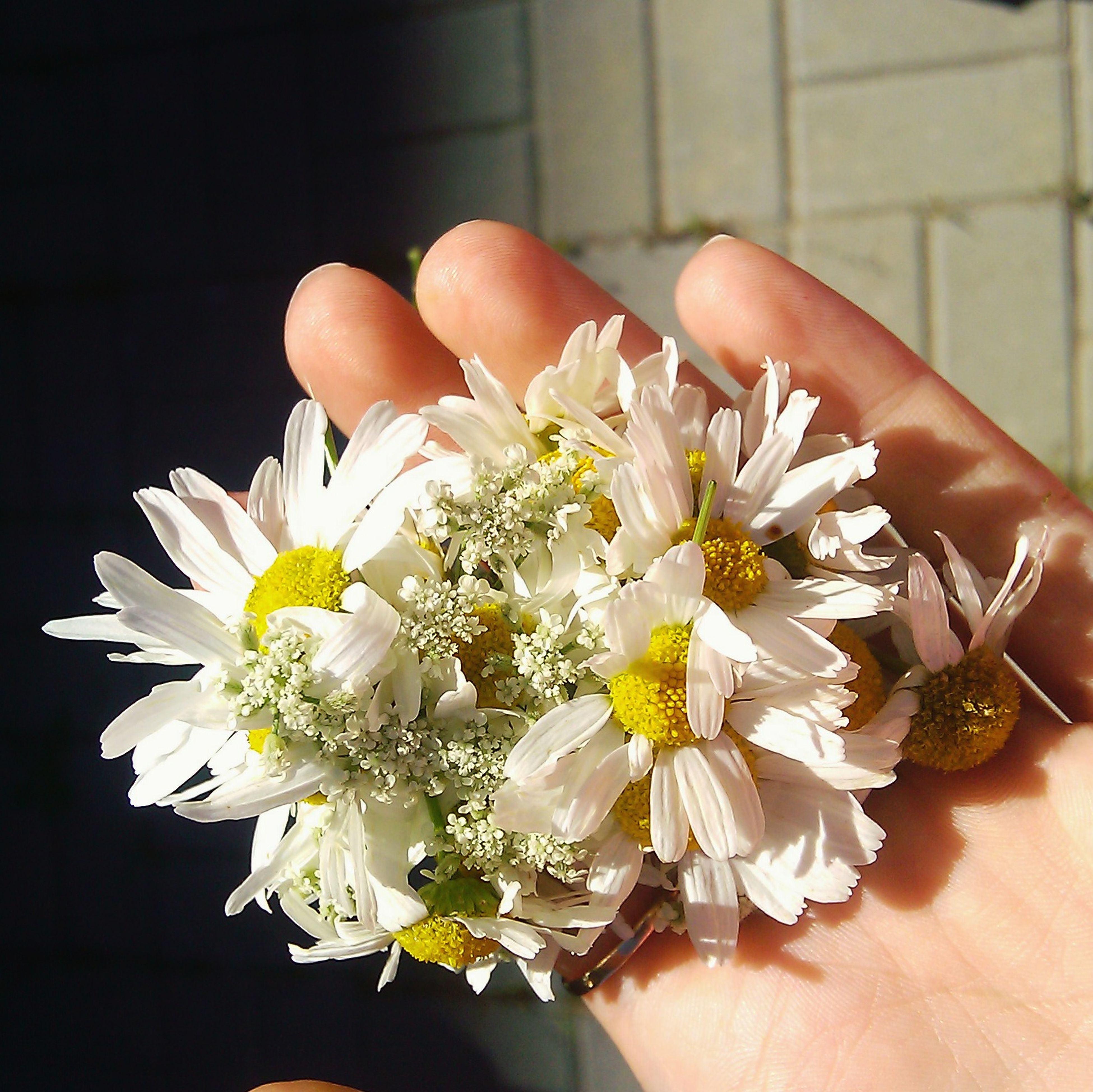 flower, person, holding, white color, petal, fragility, freshness, flower head, part of, human finger, cropped, close-up, indoors, pollen, focus on foreground, unrecognizable person, beauty in nature