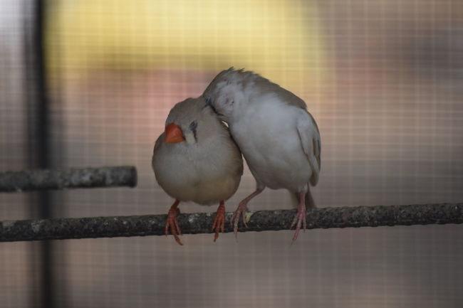 Love Making Little Finch... Finch Bird Tiny Bird Love Making Finch Sweet Bird
