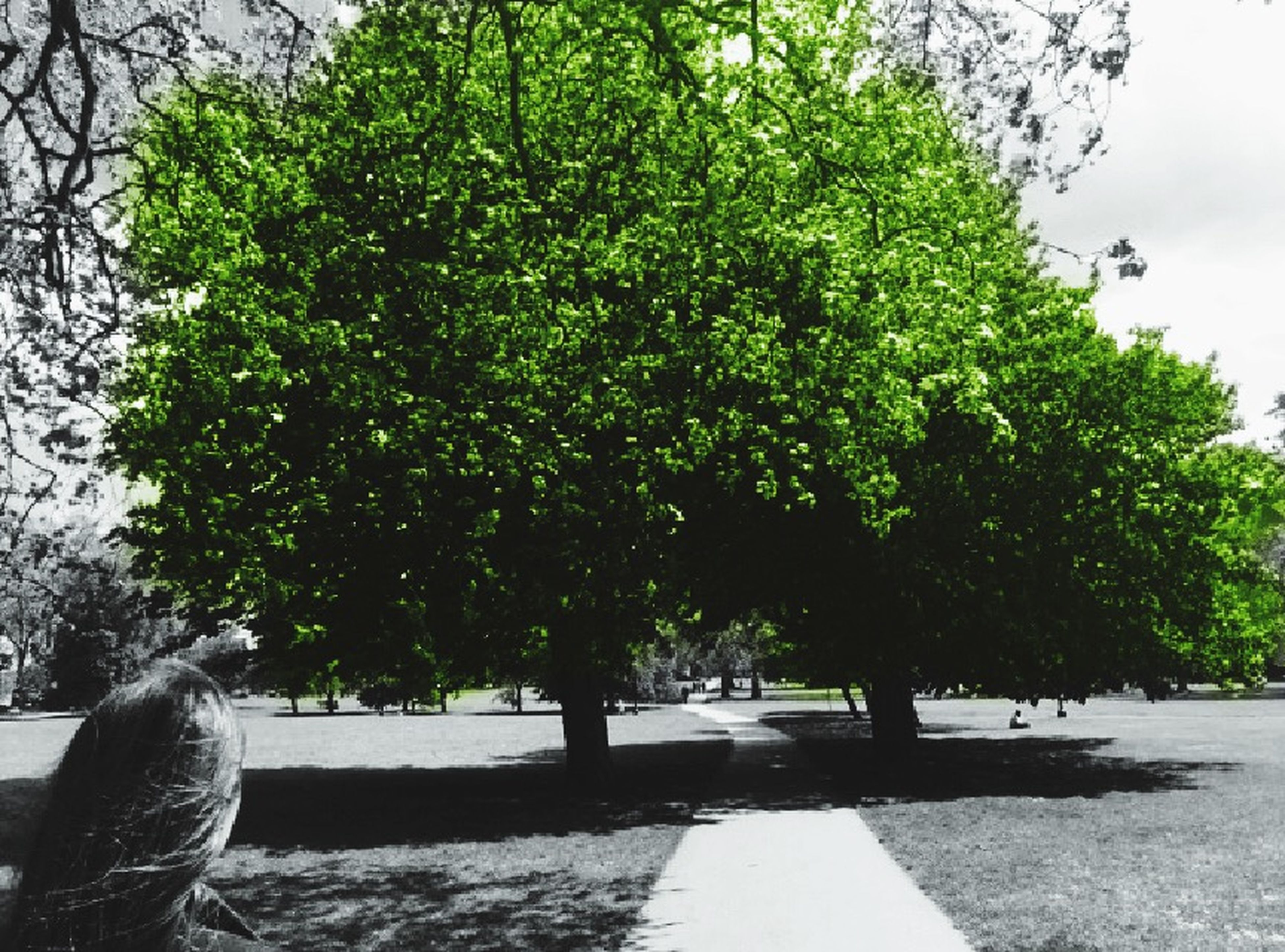 tree, growth, footpath, sunlight, park - man made space, the way forward, shadow, street, road, nature, green color, day, branch, outdoors, incidental people, tree trunk, plant, tranquility, park, no people