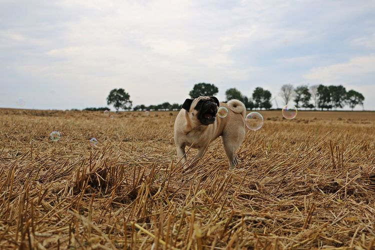 little pug is standing on a stubble field and catching bubbles with the mouth Bubbles FUNNY ANIMALS Pug Trees Animal Themes Catching Cloud - Sky Day Dog Domestic Animals Field Grass Landscape Mammal Mops Nature No People Outdoors Pets Seifenblasen Sky Stubble Stubble Field Stubblefield Summer
