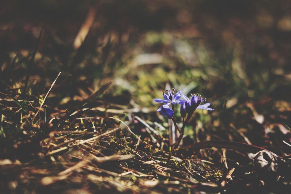 Scilla Flower Taking Photos EyeEm Nature Lover Fujifilm_xseries FujifilmXPro2 Spring Flowers Vårblomma Nature Sotenäs Fujifilm Fujifilm X-pro2 EyeEm Flower EyeEm Best Shots - Landscape