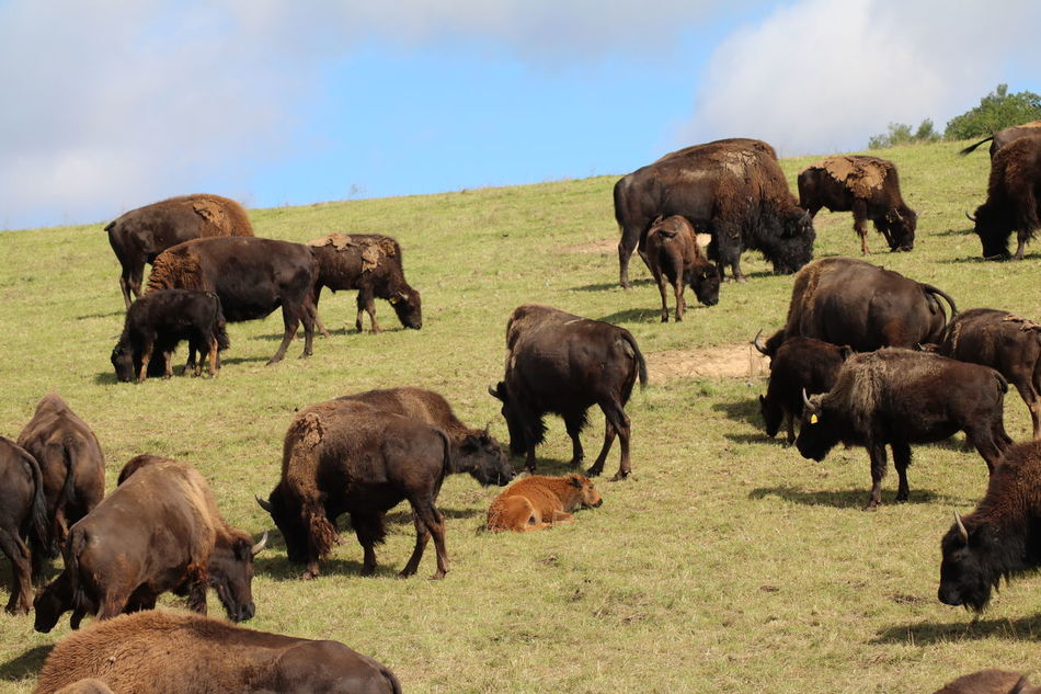 Hettstedt, Stangerode African Elephant Animal Themes Animals Bison Day Grass Mammal Nature No People Outdoors Sky Stangerode Tiere Tierpark