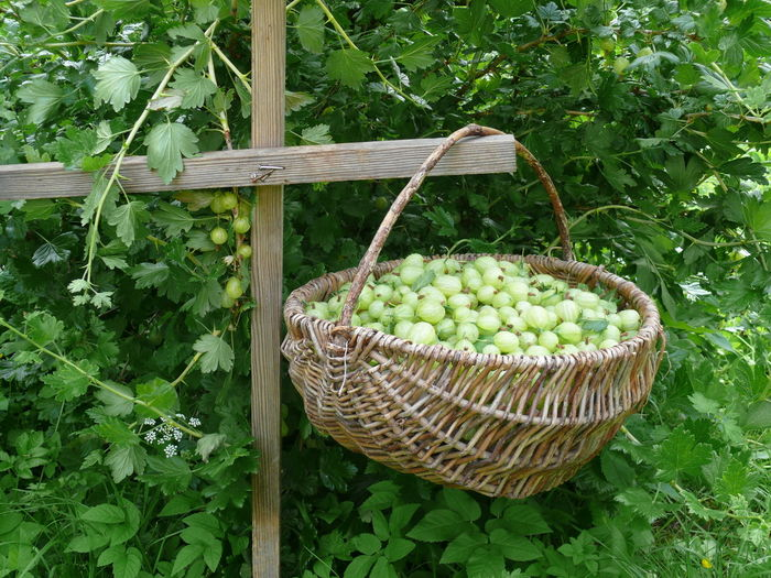 Agriculture Basket Beeren Pflücken Day Edible Berry Freshness Gooseberries Green Color Growth Healthy Eating Nature No People Outdoors Stachelbeeren Wood - Material