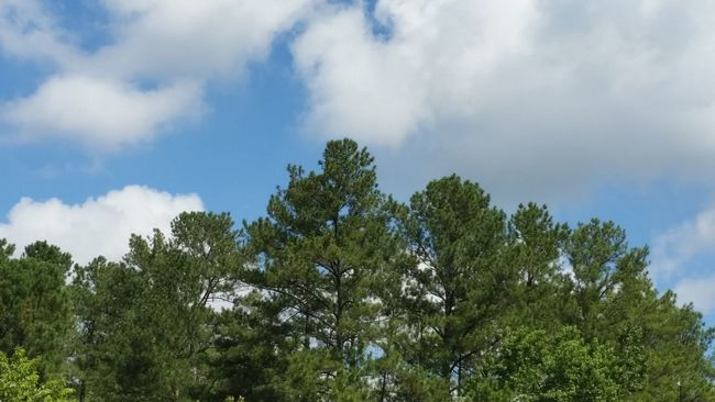 Taking Photos Summer In Georgia Blue Sky Georgia Pines Essence Of Summer No Filter, No Edit, Just Photography Trees