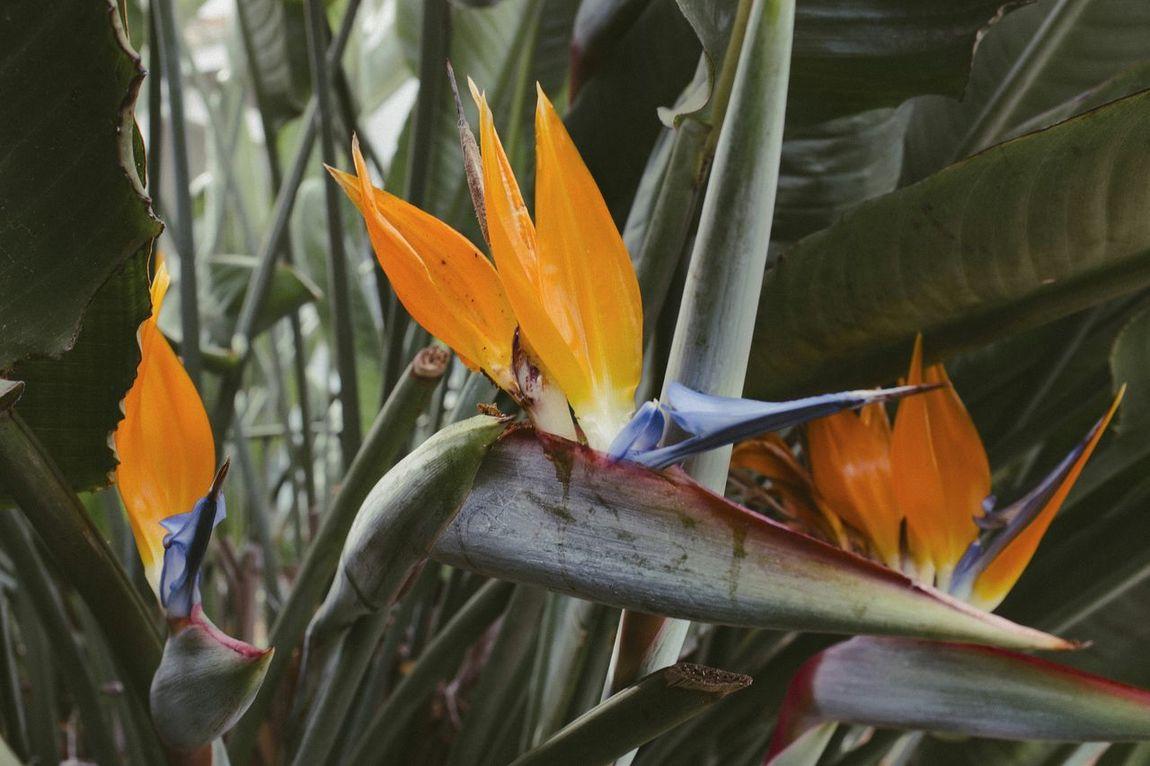Bird of paradise next to our driveway. Birdofparadise Flower