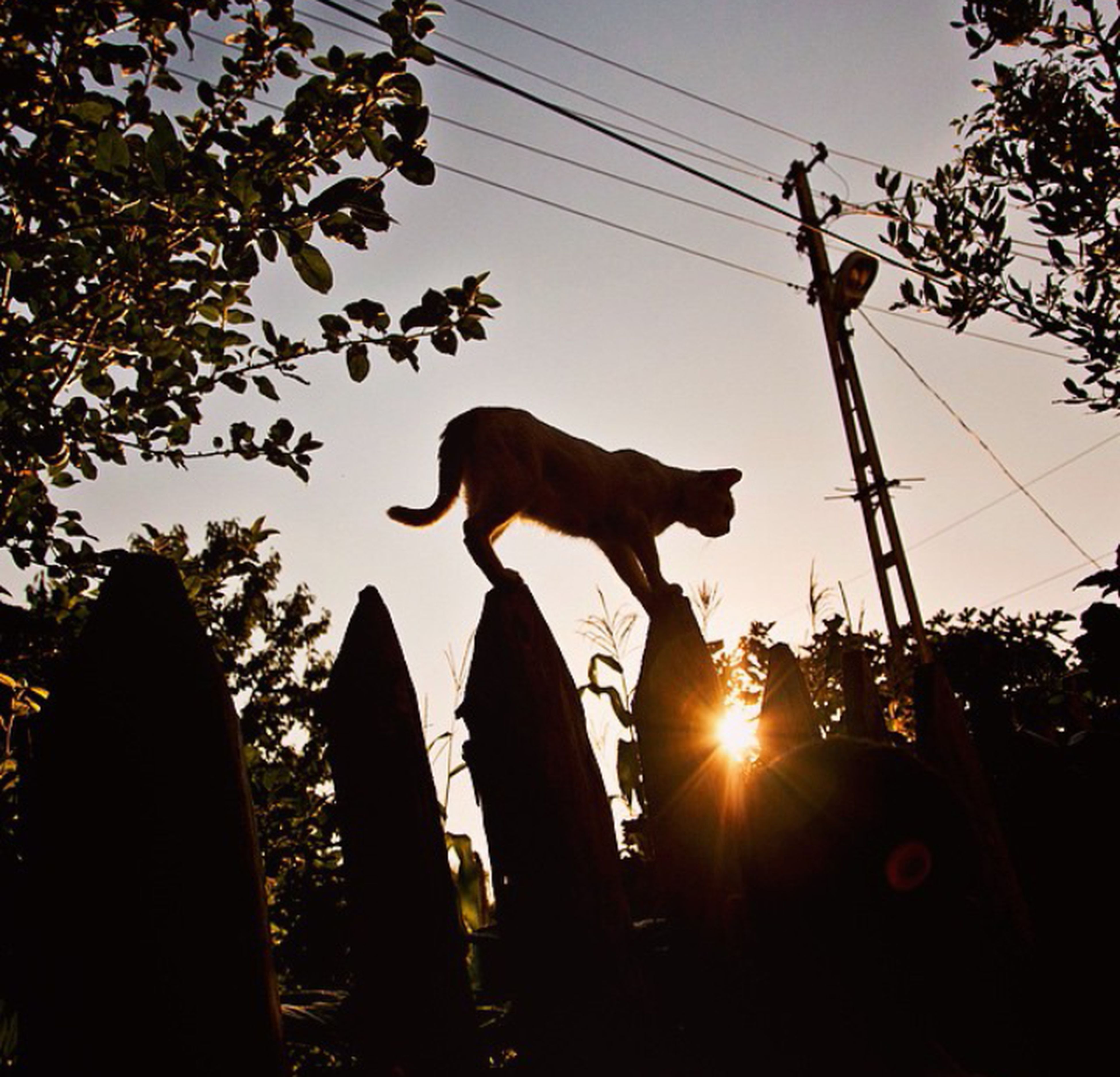 animal themes, one animal, silhouette, mammal, domestic animals, sun, low angle view, clear sky, sky, tree, power line, sunset, sunlight, pets, lens flare, sunbeam, cable, electricity pylon, outdoors, nature