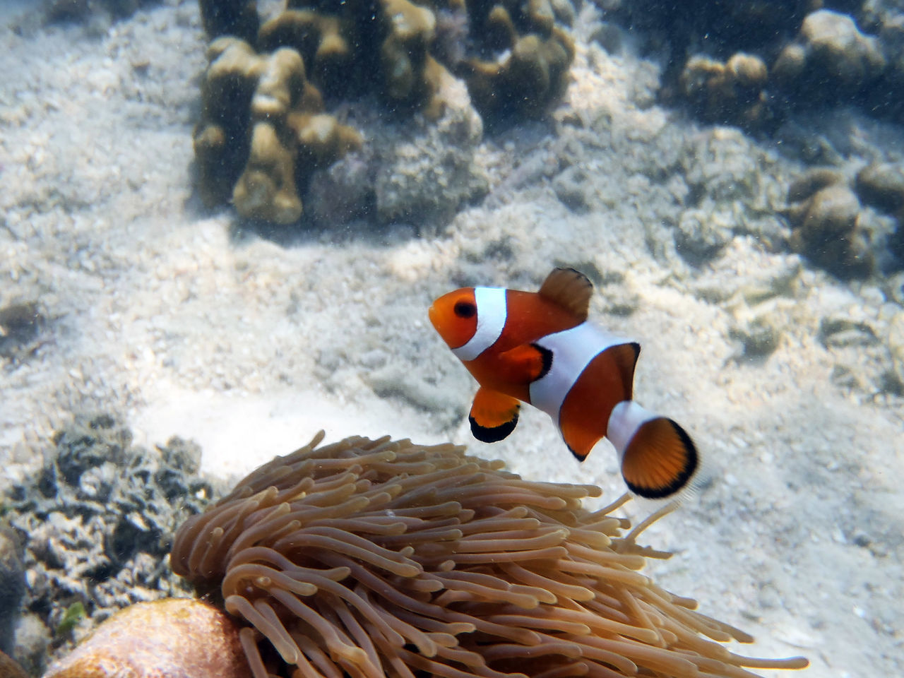 Beautiful stock photos of clown,  Animal Themes,  Animals In The Wild,  Clown Fish,  Coral
