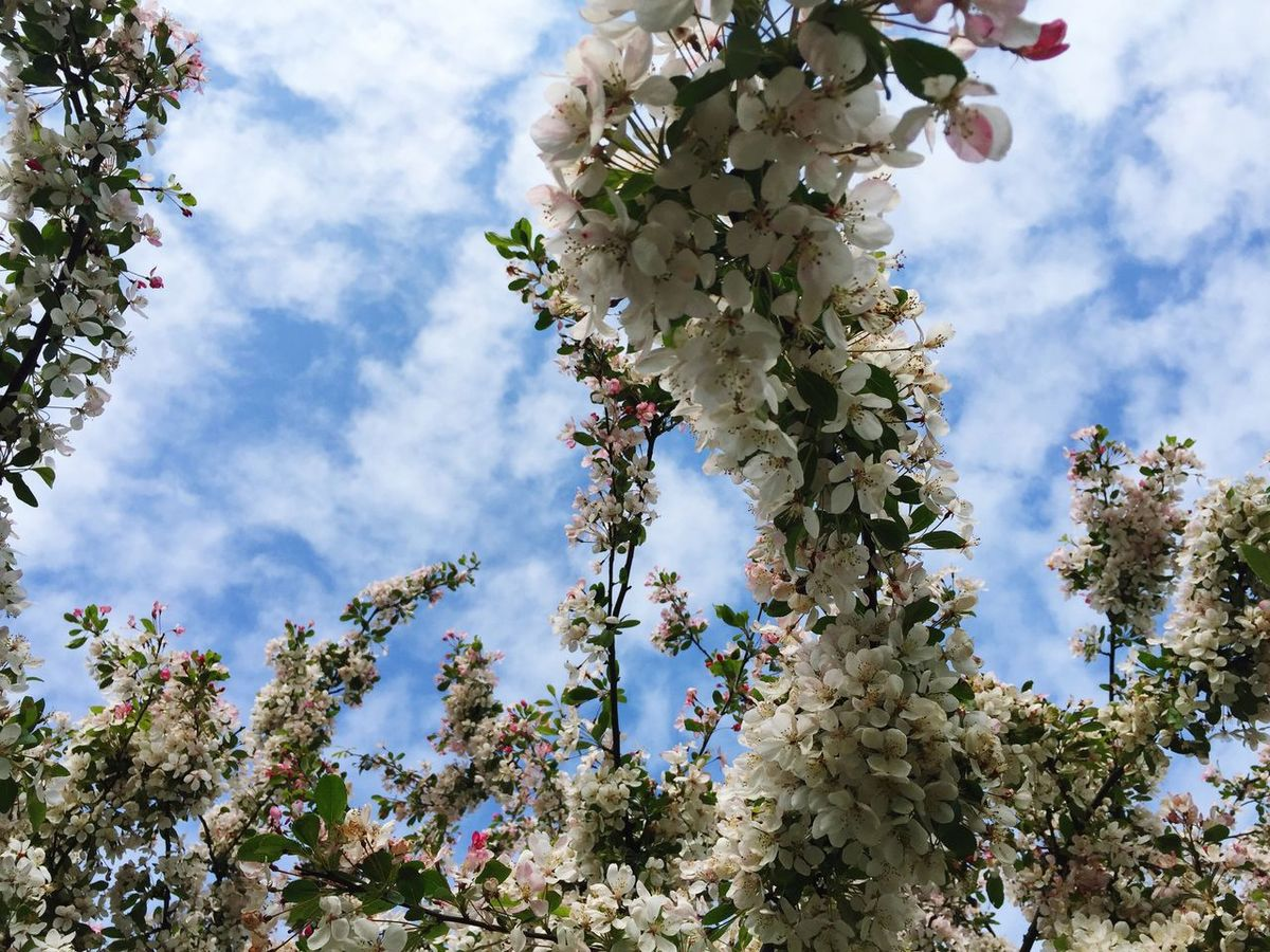EyeEm Selects Tree Flower Growth Low Angle View Blossom Cloud - Sky Nature Beauty In Nature Sky Fragility Branch Day Apple Tree Apple Blossom Botany Springtime Freshness Outdoors No People Blooming