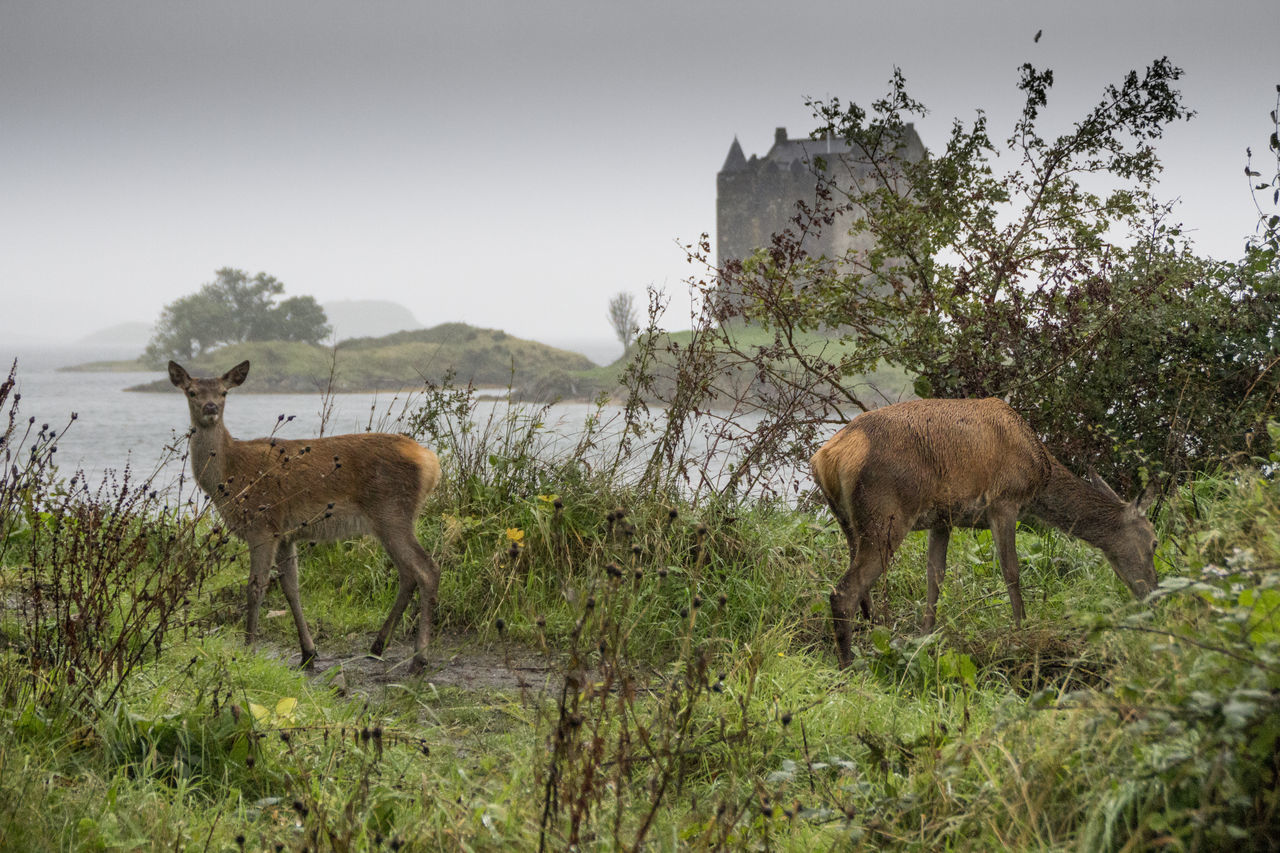 Castle Deers Nature Beauty Peace Deers Animal Themes Water Lake Domestic Animals Clear Sky Stalker Animal Photography Livestock Tranquility Zoology Solitude No People Growth Green Color Day Tranquil Scene Full Length Nature Herbivorous