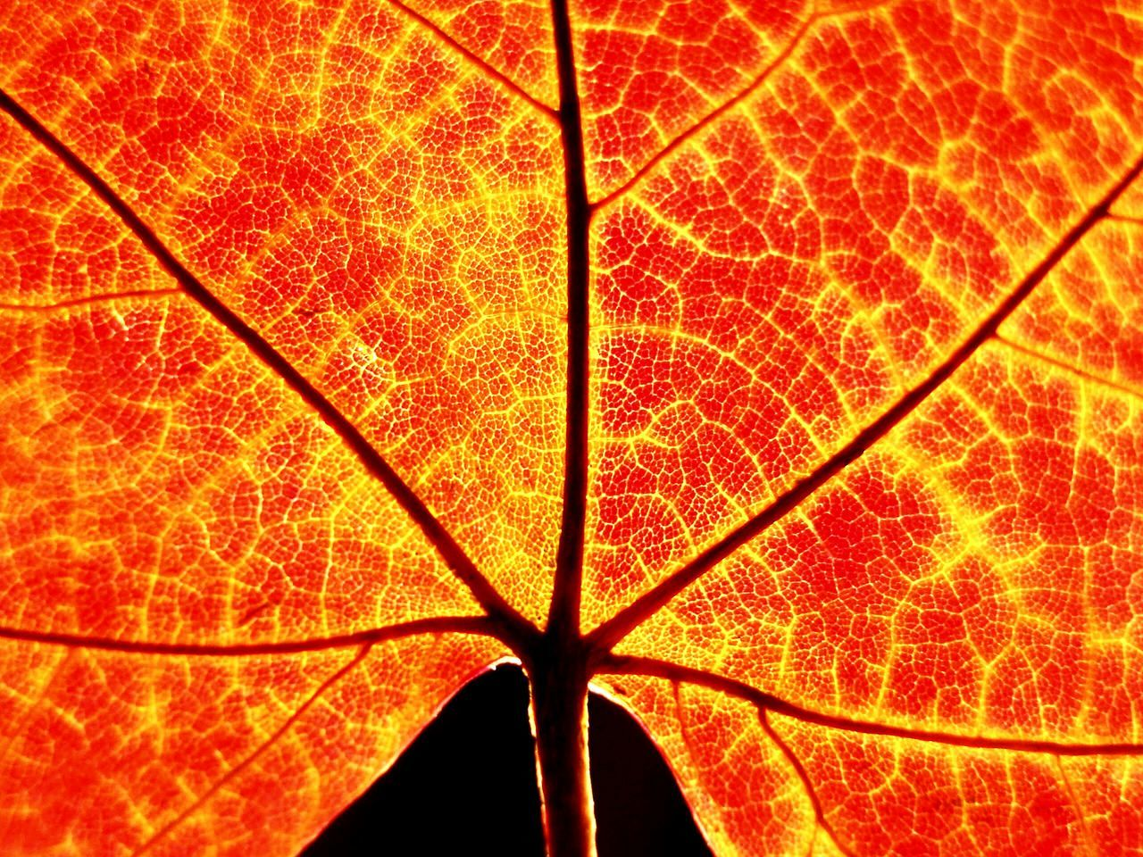 Beautiful stock photos of leaf, Extreme Close Up, Leaf, Leaf Vein, Natural Pattern