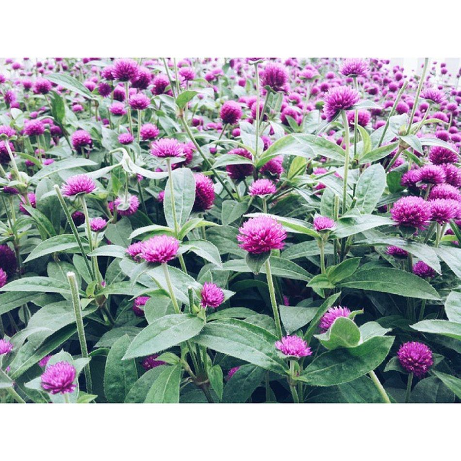 Cuci mata . . . Flower ->> @ Lavendergarden Lavenderfarm Cameronhighlands vscocam photo photooftheday view