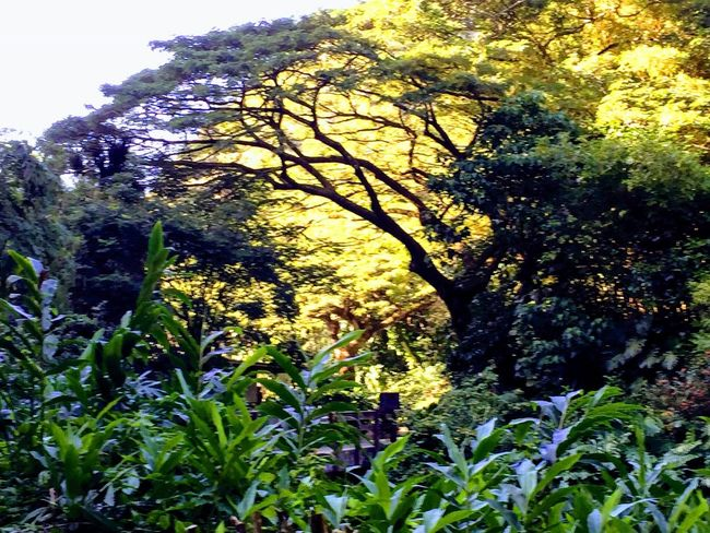 Oahu, Hawaii Growth Tree Nature Low Angle View Beauty In Nature Outdoors Plant Day No People Tropics Tropical Tropical Island Hawaiian Islands Hawaii Scenics Freshness Sky The Week On EyeEm Paint The Town Yellow Been There. Island Of Oahu, Hawaii Second Acts Oahu / Hawaii An Eye For Travel