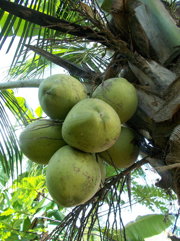 bunch of green coconut on the tree Bunch Of Coconut Cocoanut Coconut Coconut Fruit Coconut Leaf Coconut Tree Cocos Nucifera Day Food Freshness Fruit Green Color Growth Healthy Eating Healthy Food Healthy Fruit Isotonic Leaf Nature No People Outdoors Palm Tree Tree Tropical Food Tropical Fruit