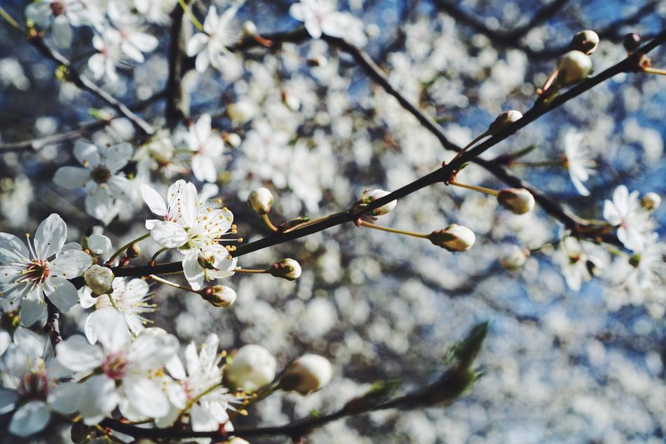Flower Tree Blossom Springtime Cherry Blossom Fragility Branch White Color Beauty In Nature Cherry Tree Nature Growth Twig Freshness Tranquility Real Photography Spring Spring Flowers Happy Easter Blooming Nature Flower Head Freshness Focus On Foreground Tree