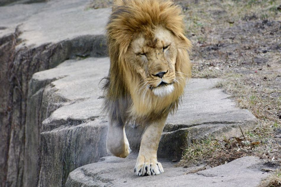 Beautiful stock photos of lion, Animal Themes, Day, Front View, Full Length