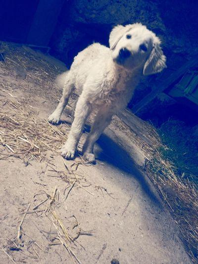 Dog Love Outdoors Maremmano Cucciolo