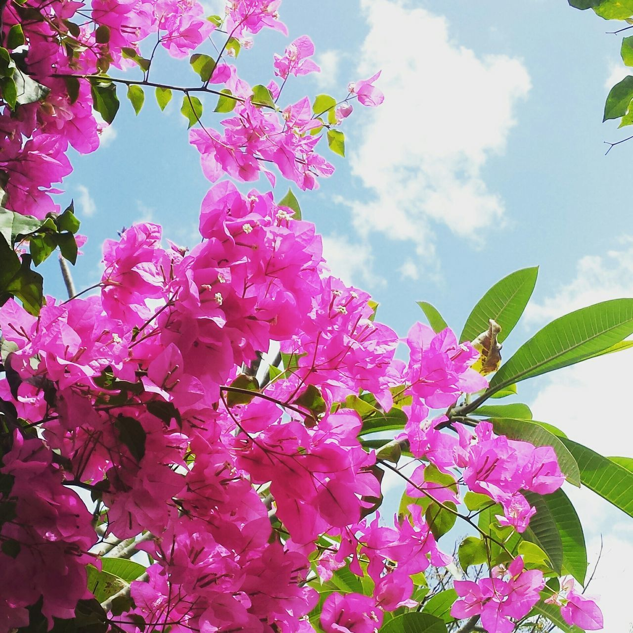 Low Angle View Of Pink Bougainvillea Growing Against Cloudy Sky