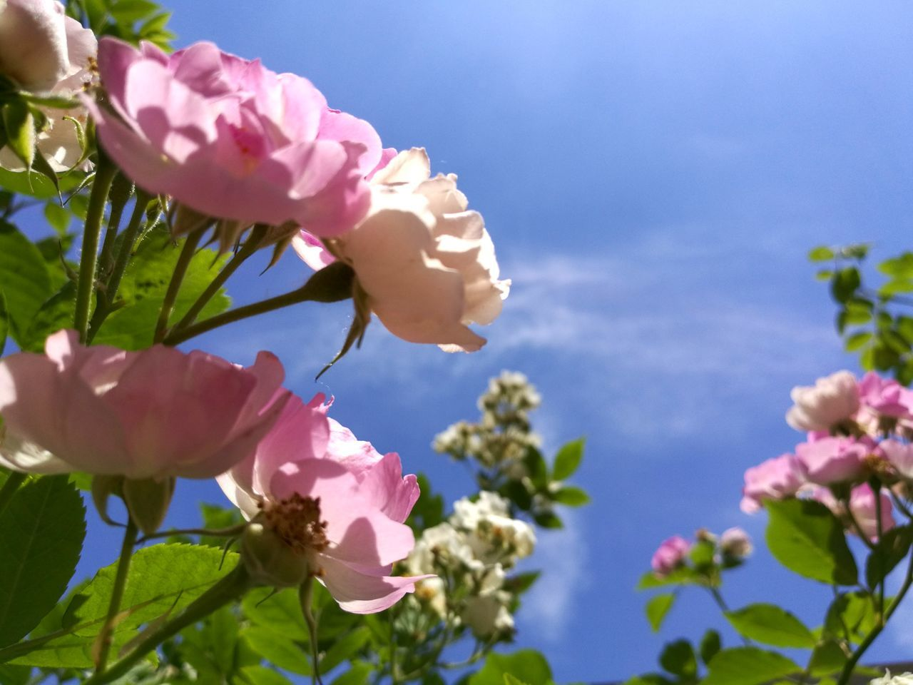 Close-Up Of Pink Bougainvillea Blooming On Tree Against Sky