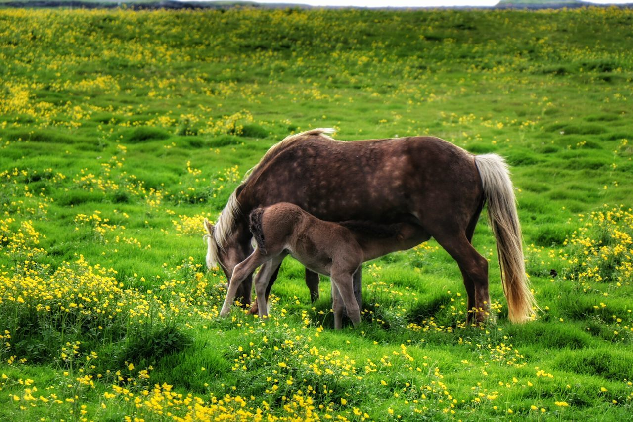 Beauty In Nature Iclandic Horses Mother Love Capturing The Moment Summer Time  Contry Side Beautiful Moment