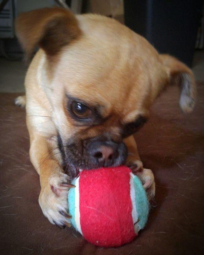 """Mine!"" Chug Chihuahua Pug Smalldog Dogandball Playful Playful Dog Playful Pups Tennisball Must Love Dogs"