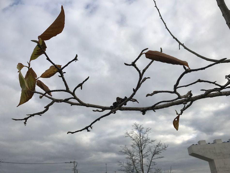 必死にしがみつく… Sky Nature Low Angle View Cloud - Sky No People Growth Outdoors Day Beauty In Nature Fragility Close-up Tree Behappy Leaf Japan Iphone7 ウォーキング ランニング 福岡県 12月 お疲れ様 冬 風 枯葉