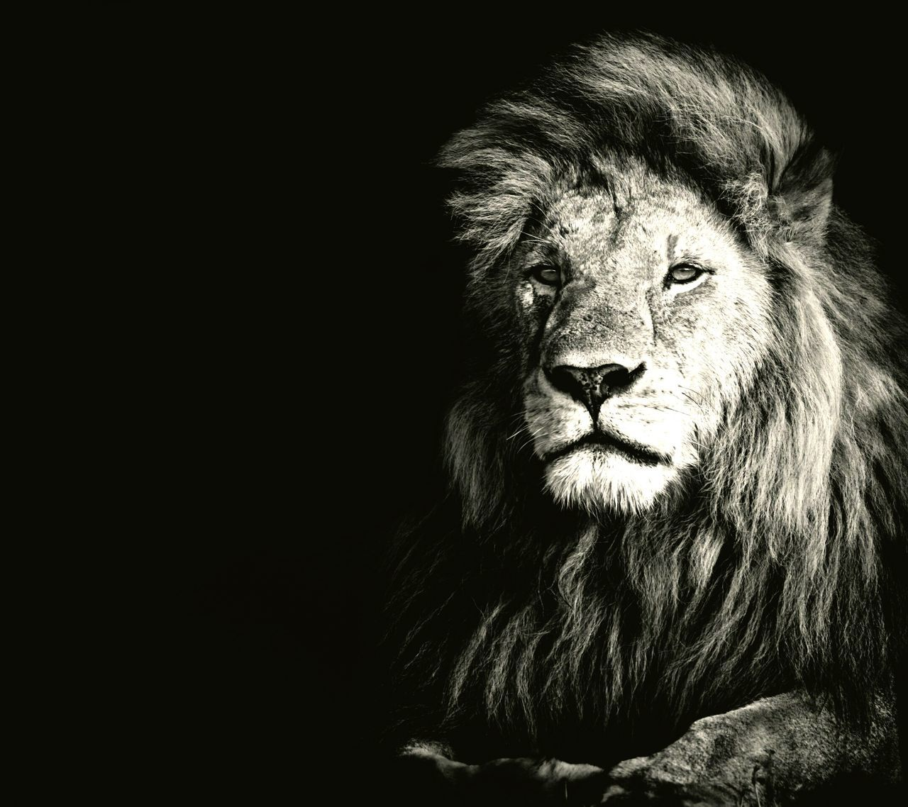 one animal, black background, animal themes, mammal, lion, no people, close-up, day