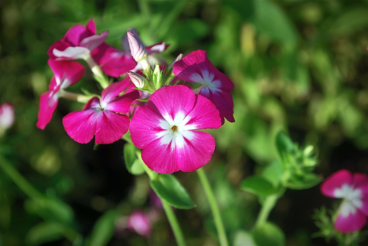 Pink Flower 🌸 Nature <3  Hanging Out Taking Photos Close-up Eyem Nature Lover - at Gurgaon India