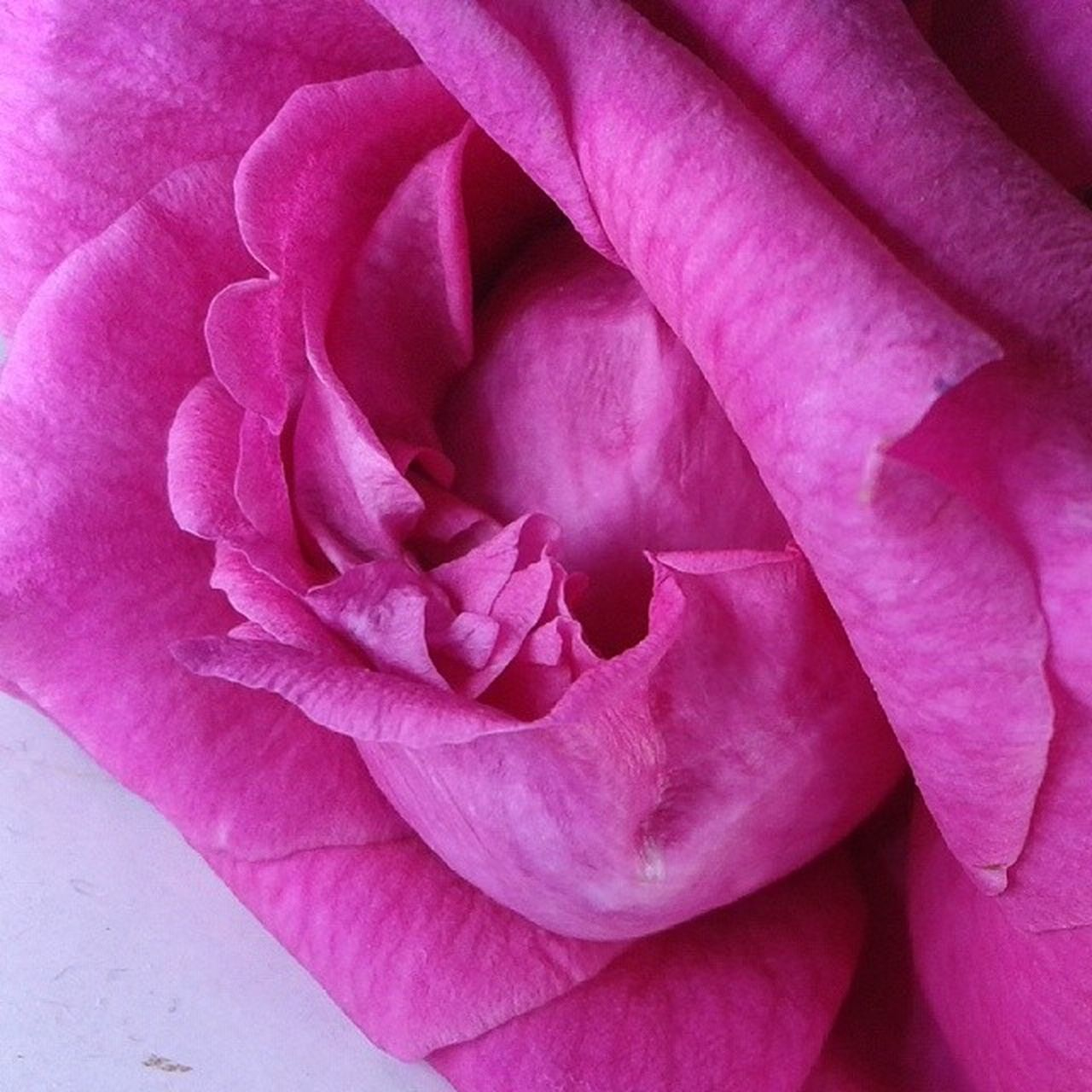 Rosé Tgif_hdr Pink Picsart HDR Arte_of_nature Allunique_pro Bestnatureshot Closeup Contest 54weely Ig_cameras_united Igcapturesclub Ig_closeups Instadaily Ig_worldclub Macro Tgif_nature Tgif_flower Flowers