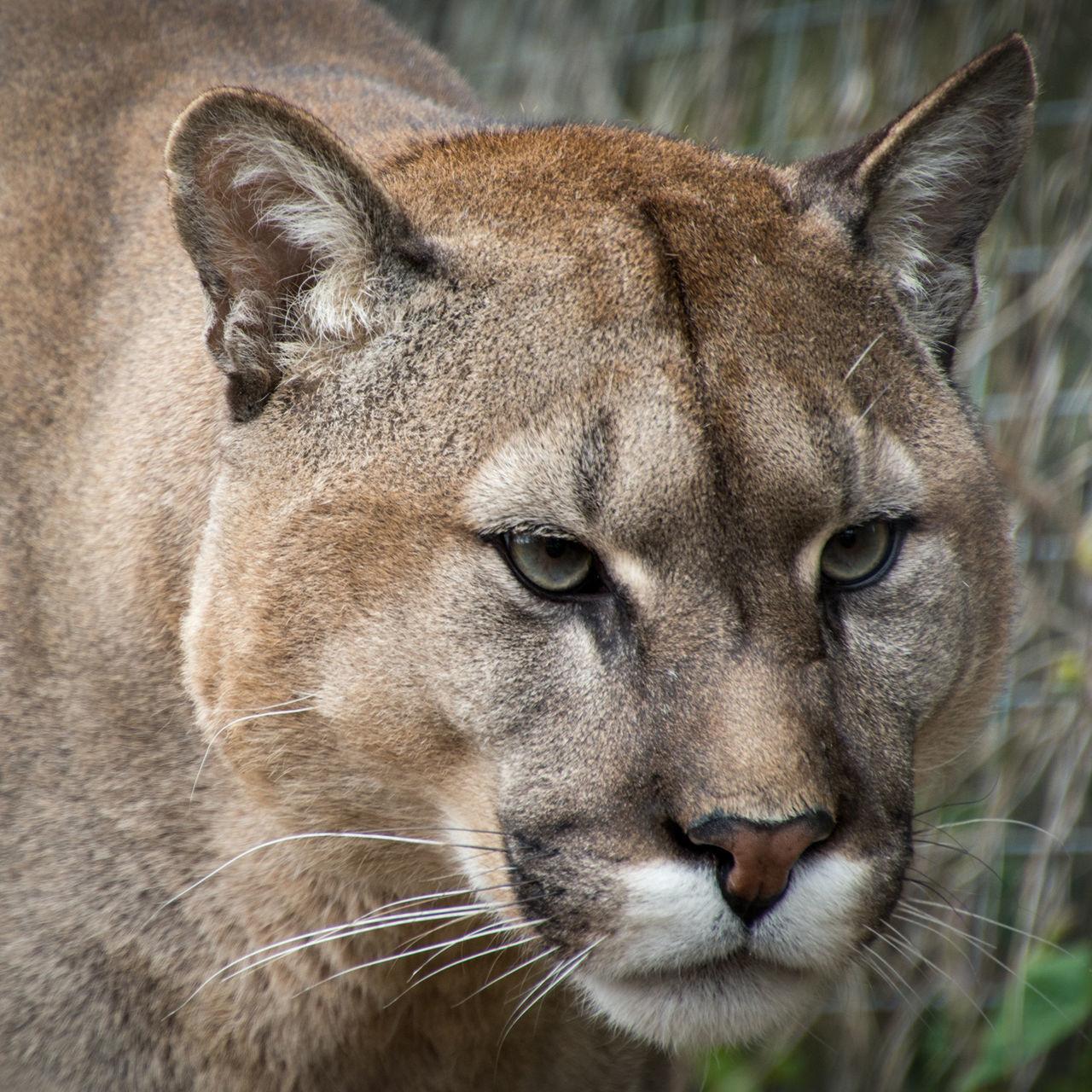 Beautiful stock photos of puma,  Animal Head,  Animal Themes,  Animals In The Wild,  Big Cat