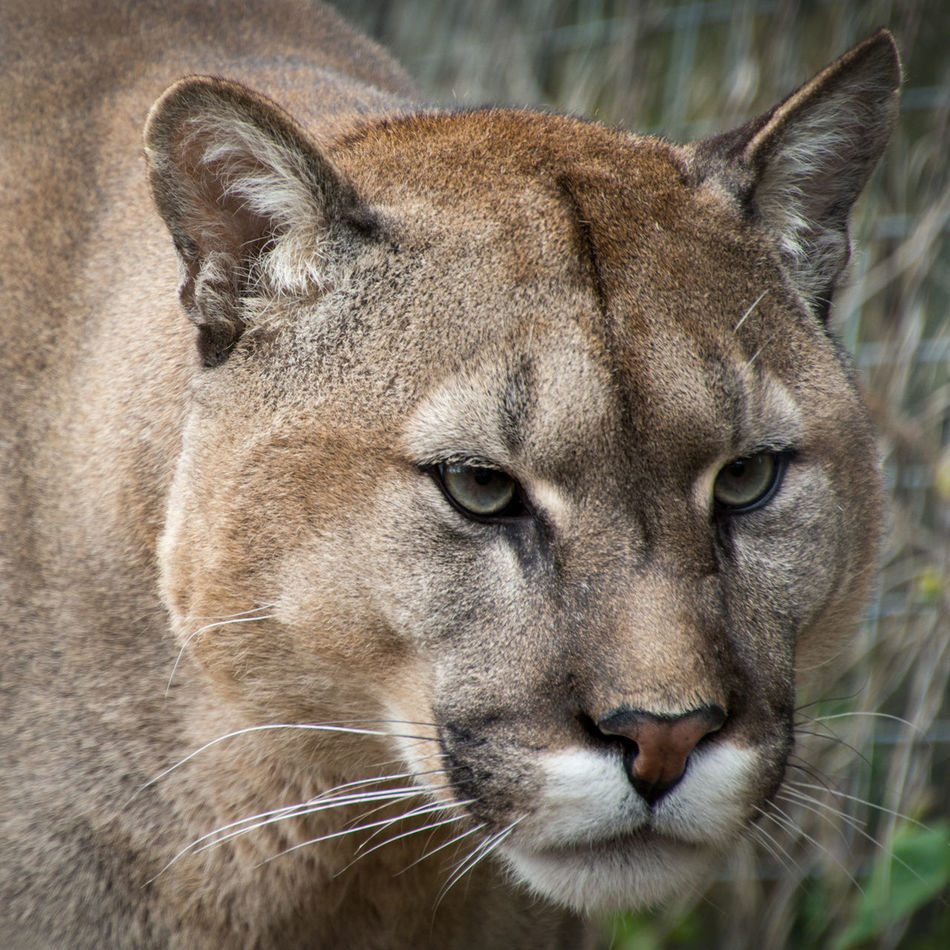 Beautiful stock photos of puma,  Animal Head,  Animal Themes,  Animals In The Wild,  Big Cat