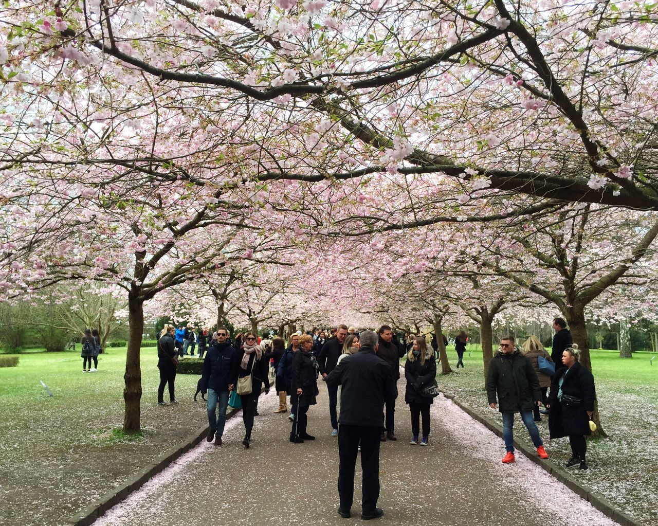 tree, cherry blossom, blossom, flower, cherry tree, branch, springtime, beauty in nature, nature, pink color, growth, large group of people, real people, outdoors, day, men, park - man made space, road, full length, freshness, fragility, travel destinations, grass, vacations, women, sky, flower head, adult, people