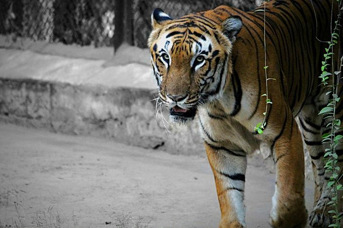 Animal Themes One Animal Animals In The Wild Animal Wildlife Close-up Nature Tiger Tigers❤ Tiger Face Tigereyes TigerCat