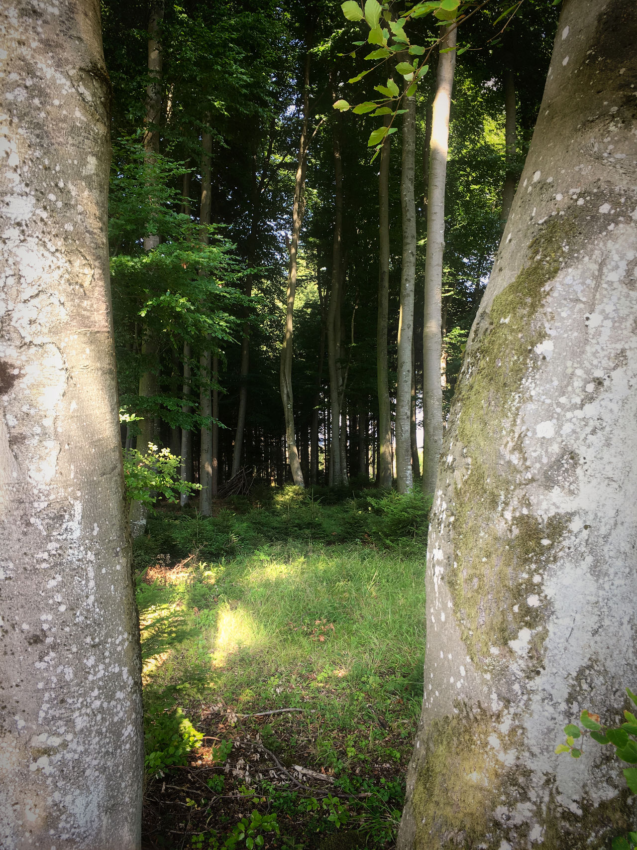 Two Trees Beauty In Nature Day Forest Grass Growth Nature No People Outdoors Scenics Tranquility Tree Tree Trunk