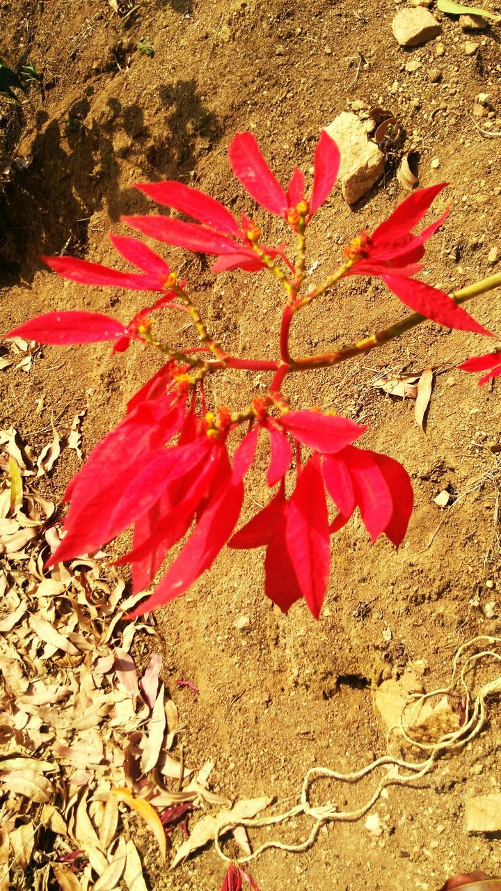 leaf, red, nature, change, day, outdoors, no people, autumn, beauty in nature, field, close-up, growth, fragility, maple