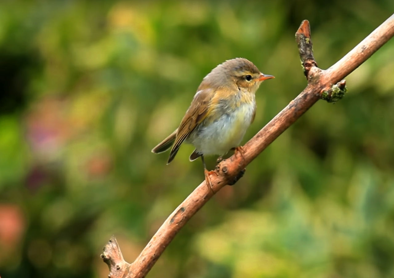animals in the wild, bird, animal themes, one animal, focus on foreground, perching, animal wildlife, day, nature, no people, outdoors, robin, close-up, beauty in nature, sparrow, tree