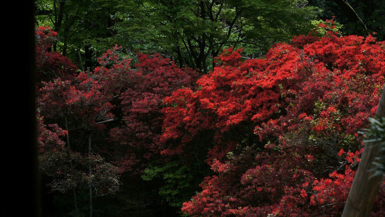 Red Blossom Flower Outdoors Kyoto Nex5 Smc Takumar 55mm F1.8