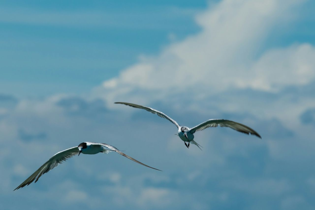 Flying Seagulls. Flying Flyingbird Flyingbirds Bird Photography Seagulls Seagulls And Sea SEAGULL IN FLIGHT Cloud Clouds And Sky