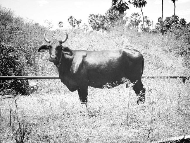 Black & White Animals Muuuu Taurus