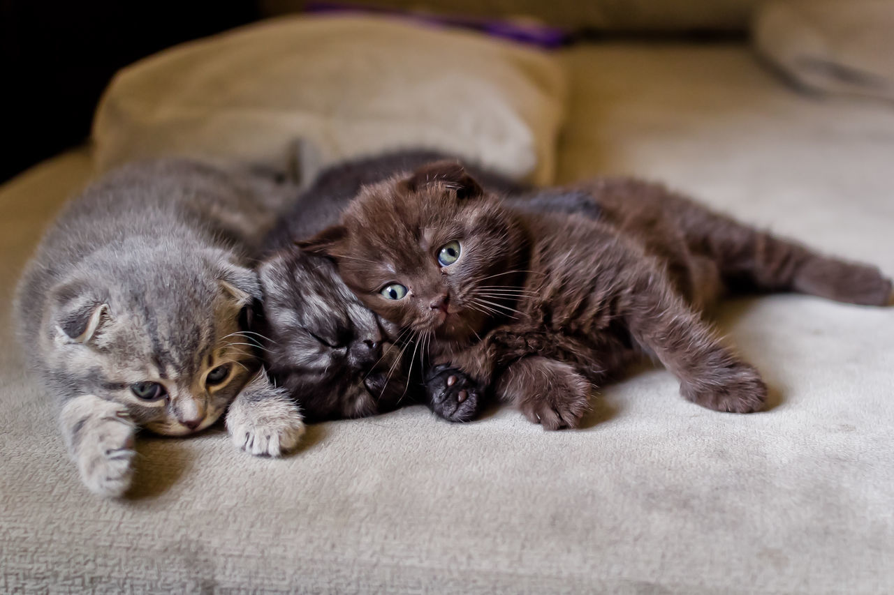 Animal Themes Close-up Day Domestic Animals Domestic Cat Feline Indoors  Kitten Looking At Camera Lying Down Mammal No People Pets Portrait Relaxation Togetherness Whisker Young Animal EyeEm Selects